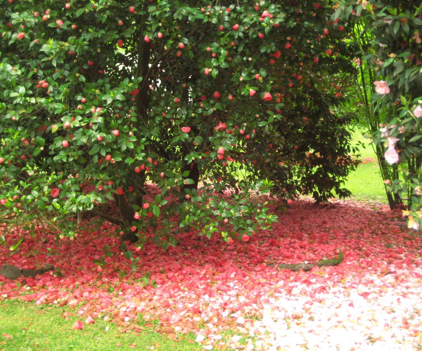 Camellia japonica il mio te blog for Pianta camelia