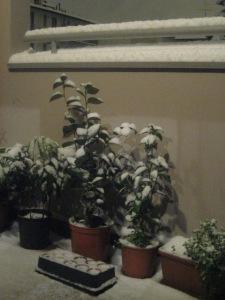 camelie sotto la neve