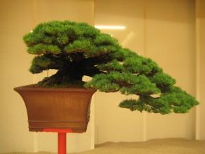 bonsai pinus pentaphylla