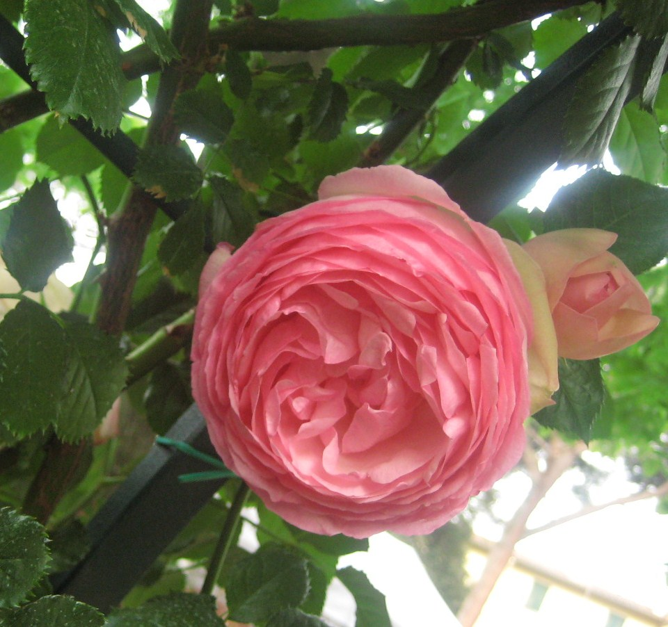 Mostra dei fiori e delle piante firenze il mio te blog for Rose piante