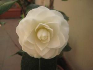 fiore di camelia