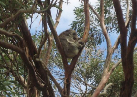 koala a kangaroo island