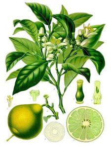 Citrus bergamia, bergamotto (fonte: Wilkipedia)