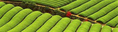 chissà se già 2150 anni fa le piantagioni di té in Cina si presentavano così...