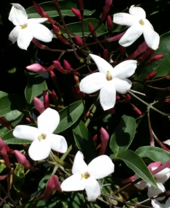 fiori e boccioli di gelsomino
