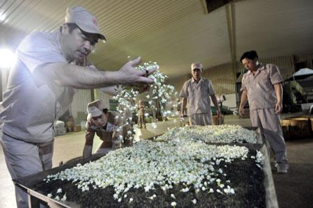 Una delle fasi di preparazione del té al gelsomino. Fonte: Taotea