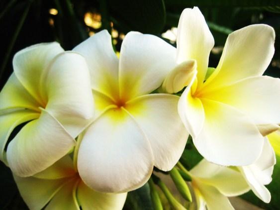 Il fiore di Tiare. La pianta è la Gardenia Tahitiensis, originaria dell'isola di Tahiti